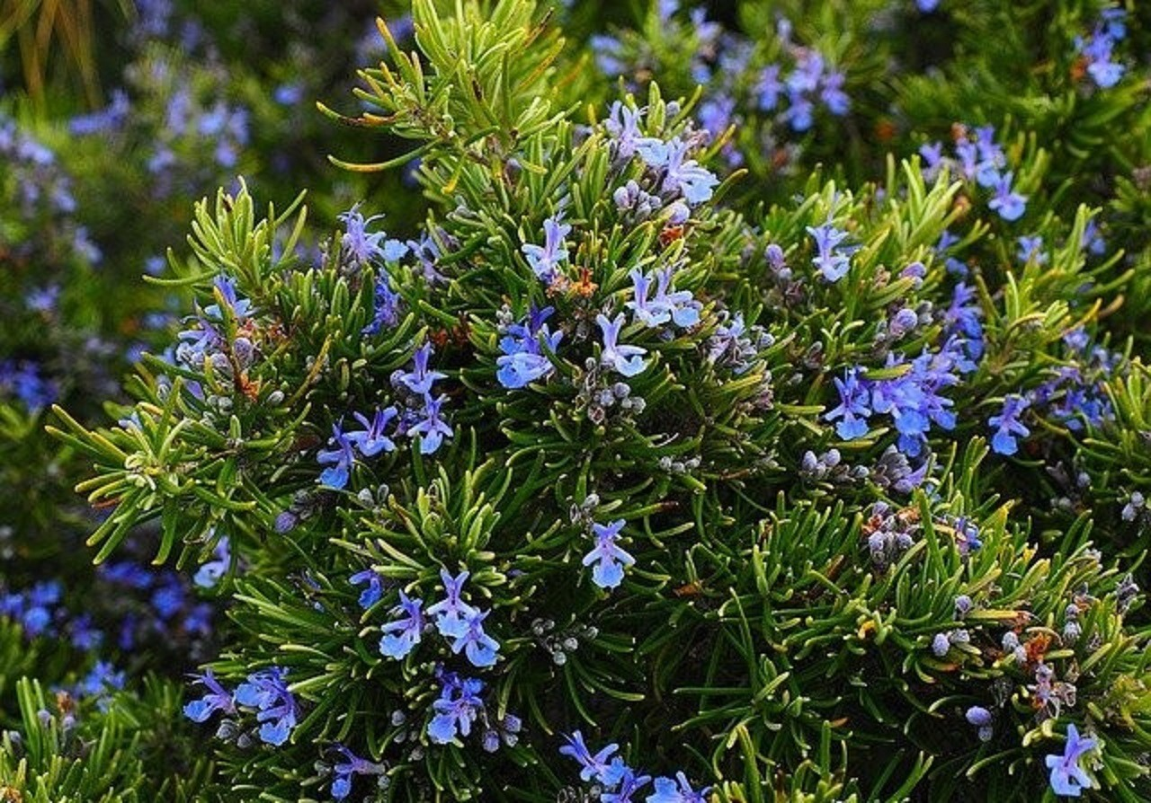 Rosemary bush with violet flowers